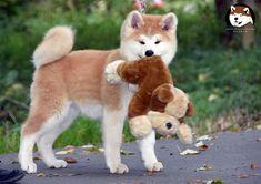 Akita Puppy with its toy! Shiba Inu, Akita Inu Puppy, Akita Puppies, Cute Puppies, Dalmatian Puppies, Overweight Dog, American Akita, Hachiko, Japanese Dogs