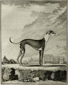 1771 Antique gorgeous Buffon copper engraving of a GREYHOUND. 242 years old rare print.