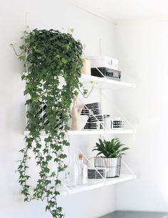 11 Best Indoor Vines And Climbers You Can Grow Easily In Your Home Love growing plants indoors? Some of the best indoor vines and climbers that are easy to grow listed here. Must check out! English Ivy Plant, English Ivy Indoor, Plantas Indoor, Easy House Plants, Growing Plants Indoors, Diy Hanging Shelves, Wall Shelves, Plants On Shelves, Storage Shelving