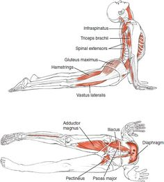 Yoga Anatomy for Upward Facing Dog, or Urdhva Mukha Svanasana | Loved and pinned by www.downdogboutique.com