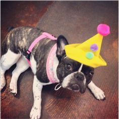 French Bulldog in a Party Hat, at Groovy Dog Bakery.