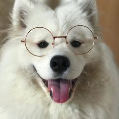 24 Samoyed Saturday Dog Samoyed Photos Who doesnt love cute fluffy dogs and are some of the cutest. Cute Fluffy Dogs, Cute Dogs And Puppies, Samoyed Dogs, Pet Dogs, Pets, Maltese Dogs, Doggies, Cute Baby Animals, Funny Animals