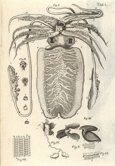 Squid from 'Bible der Natur' by Jan Swammerdam, 1752