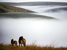 Wild Exmoor ponies on the high moors of Exmoor National Park, located in southwest England.