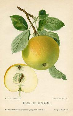 vintage apple fruit botanical illustration