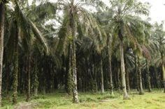 Palm Oil: Three reasons why we should not boycott