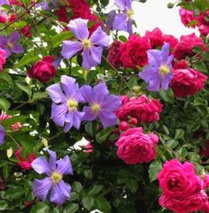 Laguna climbing rose with clematis