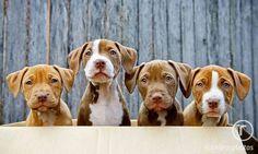 Cuccioli di Amstaff