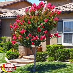 Moon Valley Nurseries Crape Myrtle details and information. Learn more about Moon Valley Nurseries trees and best practices for outstanding plant performance. Valley Nursery, Water Wise, Flowering Trees, Myrtle, Landscape, Nurseries, Backyards, Landscaping Ideas, Garden