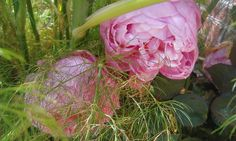Rose and Fennel. Image courtesy of The Aromatherapy Company