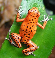 The strawberry poison frog Funny Frogs, Cute Frogs, Reptiles And Amphibians, Mammals, Beautiful Creatures, Animals Beautiful, Frosch Illustration, Animals And Pets, Cute Animals