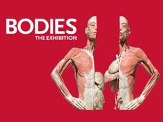 Bodies in Las Vegas With a name like Bodies in Las Vegas, it's easy to assume you're going to a topless show. But Bodies…The Exhibition at the Luxor is even more revealing. Las Vegas Tickets, Las Vegas Trip, Las Vegas Nevada, Bodies Exhibit, Vegas Activities, Las Vegas With Kids, Vegas Vacation, City That Never Sleeps, Sin City