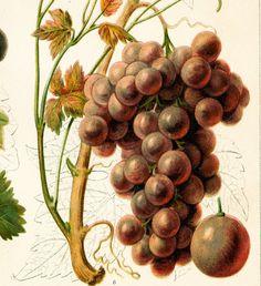 Burgundy grape print Sylvaner  classic European by EleanorsVintage