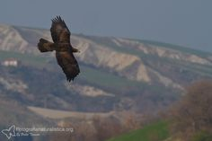 Aquila reale (Aquila chrysaetos) [Golden eagle]