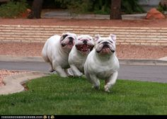 Having been on the receiving end of just 1 bulldog charging me...I'd get out of the way of this herd. LOL!