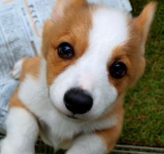 Corgi (The breed of my dog Dottie except Dottie is a mixed breed)