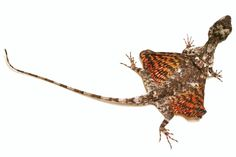 Draco volans or Flying Dragon, a gliding agamid that lives in the rainforests of Asia and the East Indies.