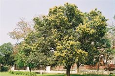 mango butter is extracted from the kernels of the mango tree and not from the fruit.