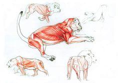 lion anatomy by ~Goldstress972 on deviantART