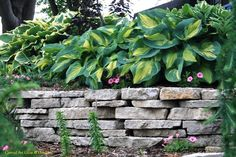 Hostas at Oak Lawn | Conrad Art Glass & Gardens