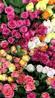 ru.iwall365.com iPhoneWallpaper 640x1136 1401 Colors-of-rose-flowers_640x1136_iPhone_5_wallpaper.jpg