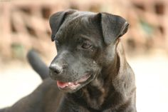 Patterdale Terriers bond strongly with their owners, are intelligent, eager to please, easy to train, loyal, affectionate and naturally become part of the family if allowed.