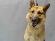 PULLED BY SECOND CHANCE RESCUE - 12/17/15 - TO BE DESTROYED - 12/17/15 - RAFFY - #A1060415 - Super Urgent Brooklyn - MALE BLACK/BROWN GERM SHEPHERD MX, 8 Yrs - OWNER SUR - EVALUATE, NO HOLD Reason MOVE2PRIVA - Intake 12/12/15 Due Out 12/12/15