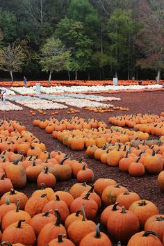 Burts Pumpkin Patch - why aren't these a thing here :( Burts Pumpkin Patch, Pumpkin Patch Farm, Pumpkin Patches, Autumn Cozy, Autumn Trees, Autumn Leaves, It's The Great Pumpkin, Autumn Aesthetic, Fall Pictures