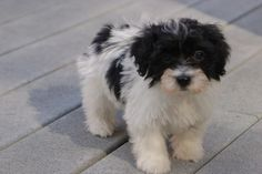 groom havanese  | Havanese Breeders | Havanese Puppies For Sale | Contact Us | Royal ...