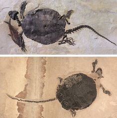 These two adult fossilized turtles, each more than 4 feet long, belong to the species Christernon undatum. They are part a family of turtles known as Baenidae, which have only been found in North America and have extremely long tails. The animals didn't have the ability to tuck their heads into their shells; that's why all of the complete skeletons of these turtles from Fossil Lake have their heads poking out. Baenids flourished during the Late Cretaceous but became extinct in the late ...