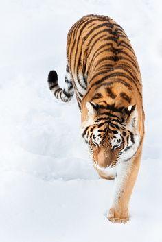 Amur Tiger ♥ - www.savetigersnow... - tigertime.info - www.savewildtiger... - www.panthera.org/node/1399.