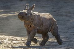 Introducing Shomili (Mili for short), the 65th greater one-horned rhino born here. Help us welcome her to the world.