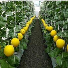 One of the best ways to grow the best vegetables as well as healthy full house plants is by hydroponic gardening. Hydroponic Gardening, Garden, Fruit Garden, Hanging Plants Indoor, Vegetable Garden For Beginners, Plants, Fruit Trees, Edible Garden, Gardens Of Babylon