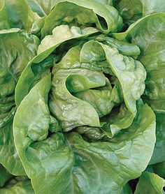 Lettuce, Buttercrunch.All-America Selections winner. Extremely popular lettuce with luscious, buttery texture.