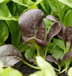 Plant Komatsuna Red Mustard Seeds in raised beds or in your organic vegetable…