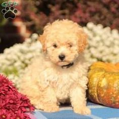 Bich-poo Puppy in Leola, PA Free Crochet Rose Pattern, Greenfield Puppies, Bichon Frise, Puppies For Sale, Poodle, Teddy Bear, Animals, Animales, Animaux