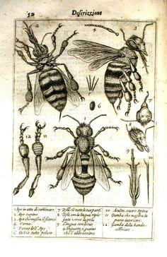 Melissographia of Stelluti (1630)
