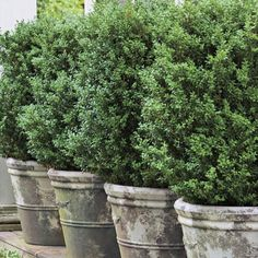 boxwood in planters nice for patio