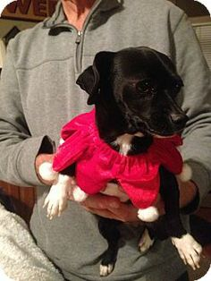 Crown Point, IN - Chihuahua/Dachshund Mix. Meet Misty a Dog for Adoption.