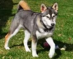 The puppy has an exceptionally quiet and amazingly delicate disposition, a great many people fear it in light of its enormous size and shape yet as a general rule it is an extremely carefree pooch Husky Mix, Kinds Of Dogs, Dog Owners, Dog Breeds, Delicate, Puppies, Shape, Pets, People