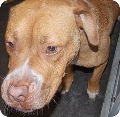 St. Pauls, NC - Pit Bull Terrier Mix. Meet Hooch, a dog for adoption. http://www.adoptapet.com/pet/11286087-st-pauls-north-carolina-pit-bull-terrier-mix