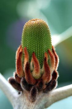 Banksia Evolution -- and doesn't this look just like a cactus? Weird Plants, Unusual Plants, Exotic Plants, Cool Plants, Cacti And Succulents, Planting Succulents, Planting Flowers, Cactus Planta, Cactus Y Suculentas