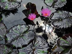Pink Flamingo day bloom tropical waterlily