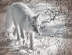 Arctic Fox near Churchill, Canada