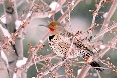 earth-song:      Male Northern Flicker in a Winter Sceneby*eaross