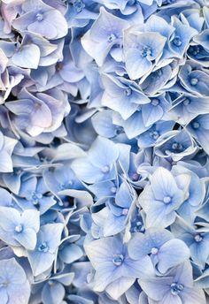 hortensien wunderschön-gemacht