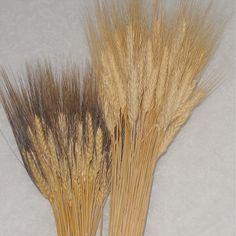 Dried Wheat Grass