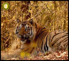 New Big Male #Tiger of Bandhavgarh Photo Courtesy: Aman Sohi #bandhavgarhnationalpark