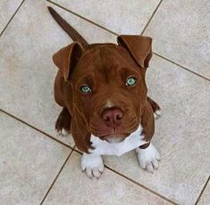 This Pitbull's green eyes are mesmerizing! Amazing!!