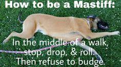 How to be a Mastiff. #mastiff #englishmastiff #bigdog #gentlegiant #dog